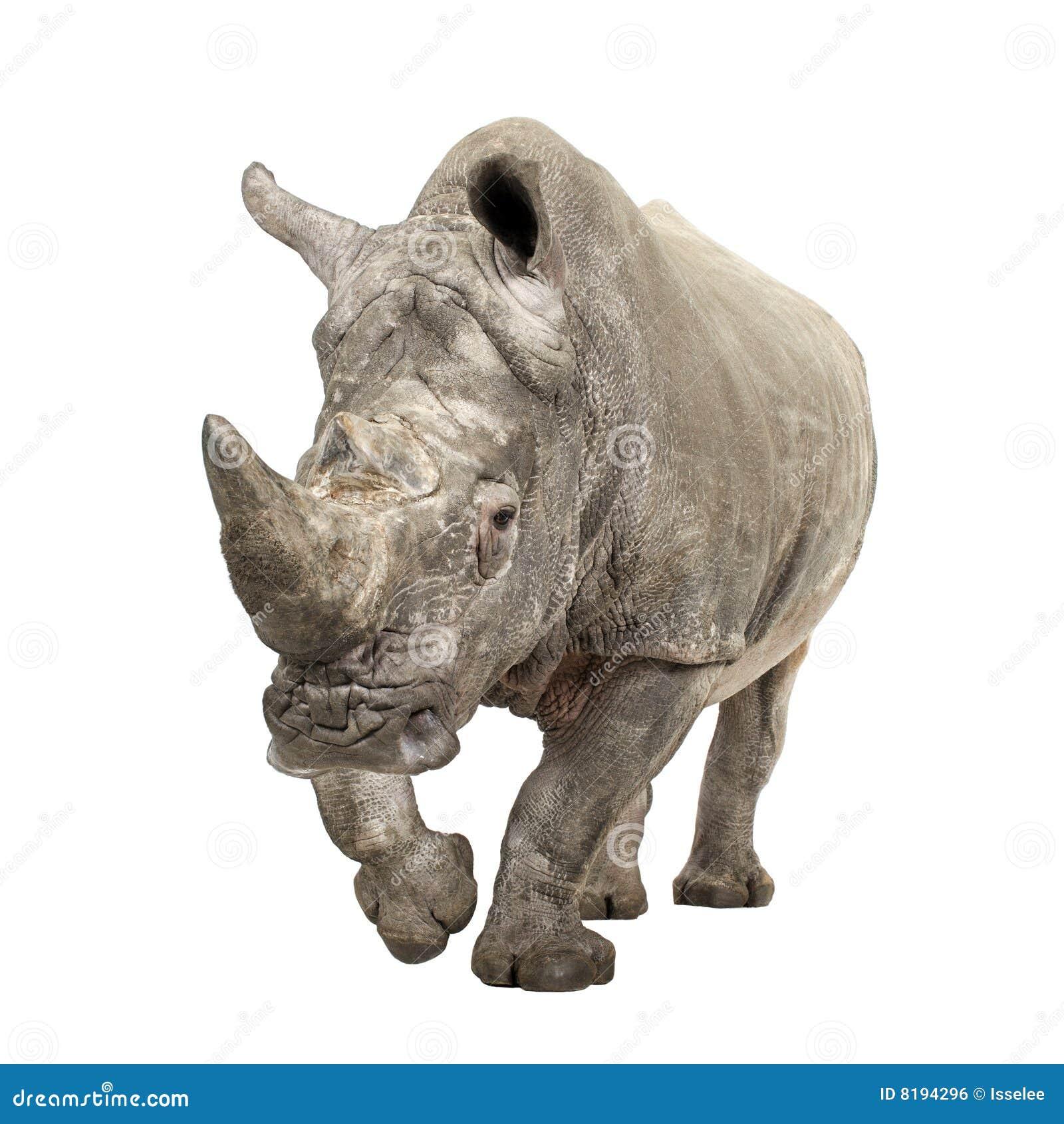 White Rhinoceros - Ceratotherium simum ( +/- 10 years)