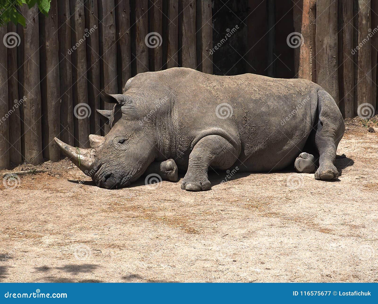 White Rhinoceros Or Ceratotherium Simum