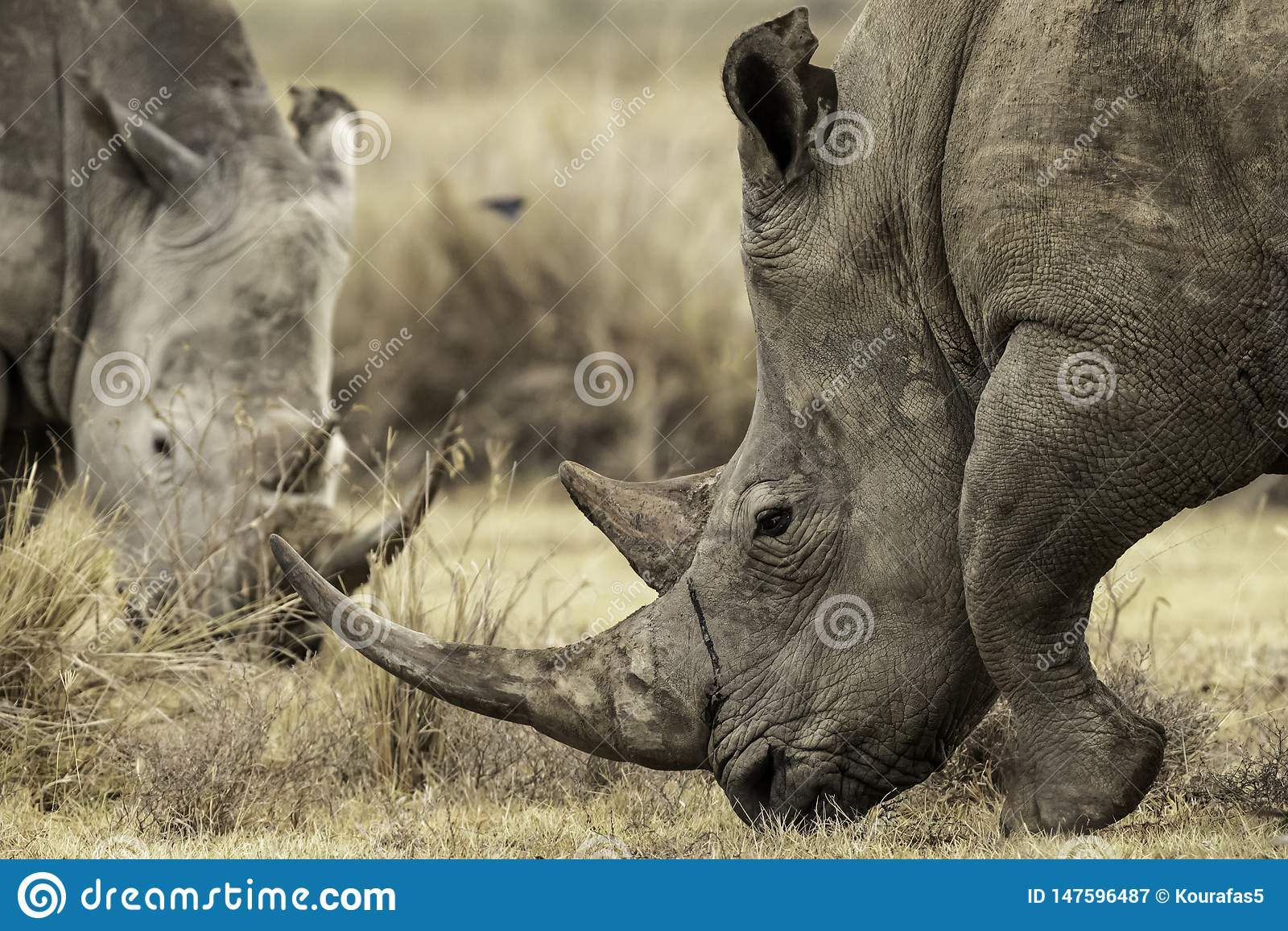 White Rhinoceros grazing the land in Lake Nakuru, Kenta Africa,Ceratotherium simum