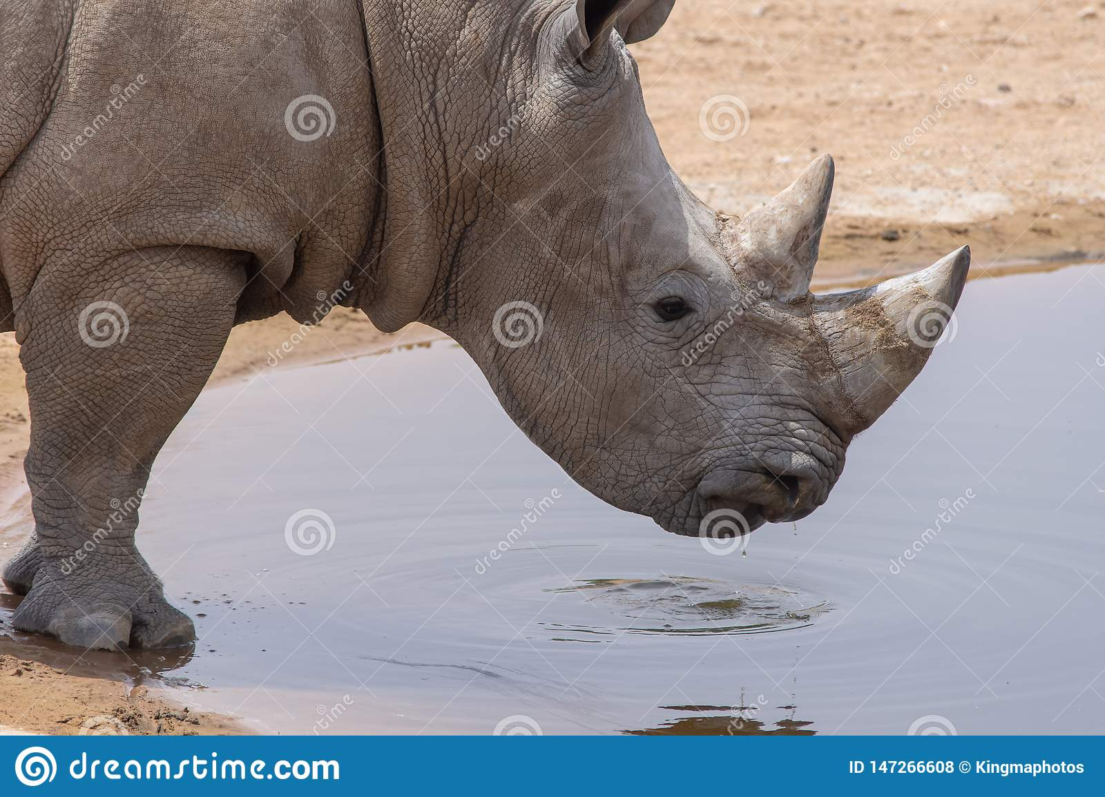 A white rhinoceros or square-lipped rhinoceros Ceratotherium simum close-up drinking at a waterhole