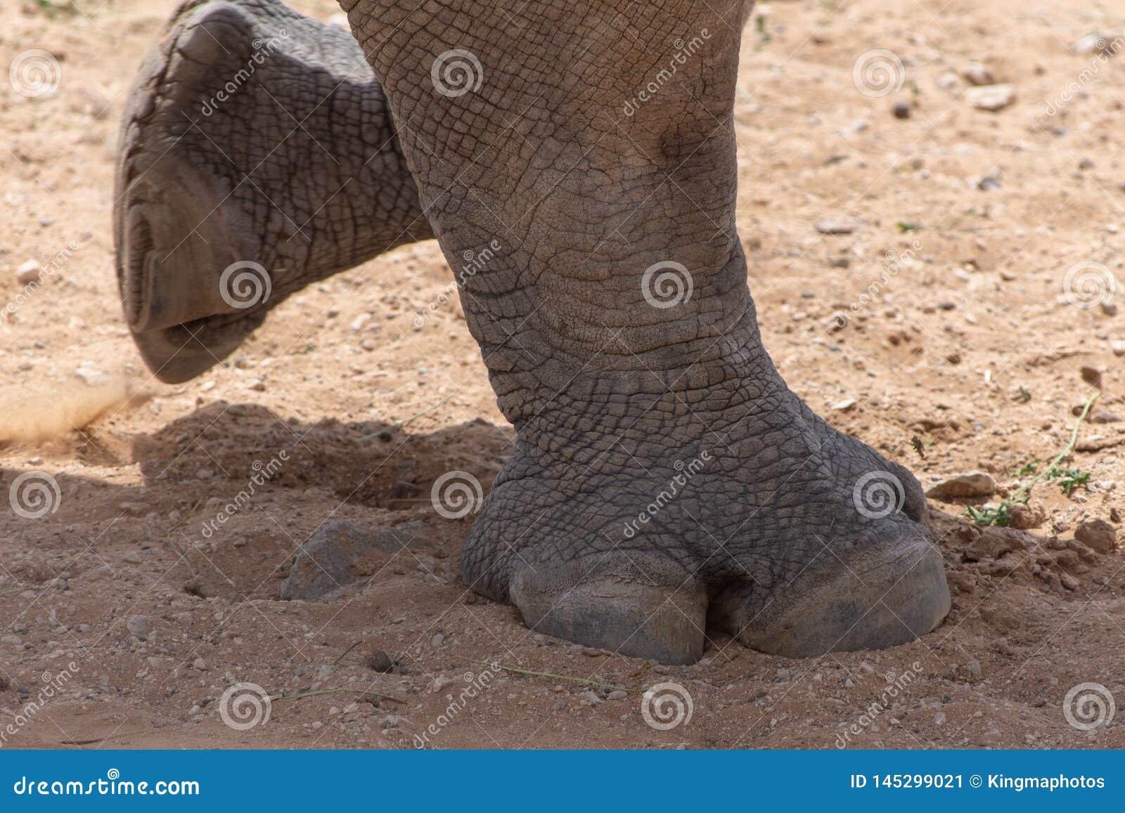 A white rhinoceros or square-lipped rhinoceros Ceratotherium simum feet moving across the dirt