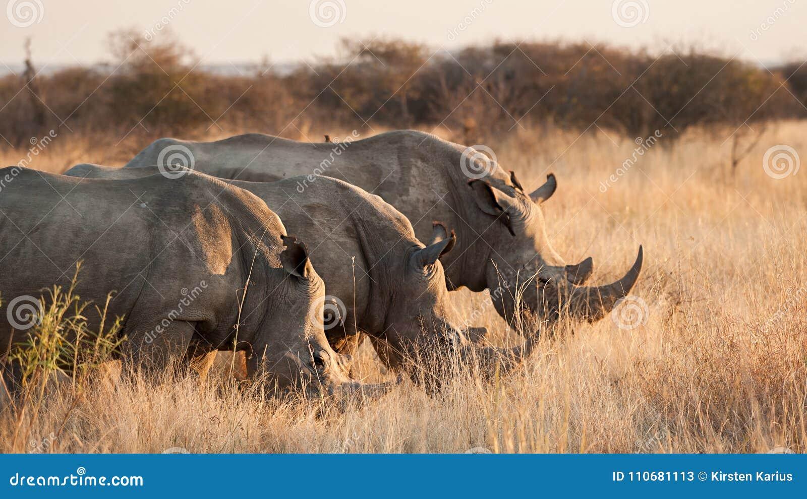 Three White rhinoceros hide behind grass - Ceratotherium simum