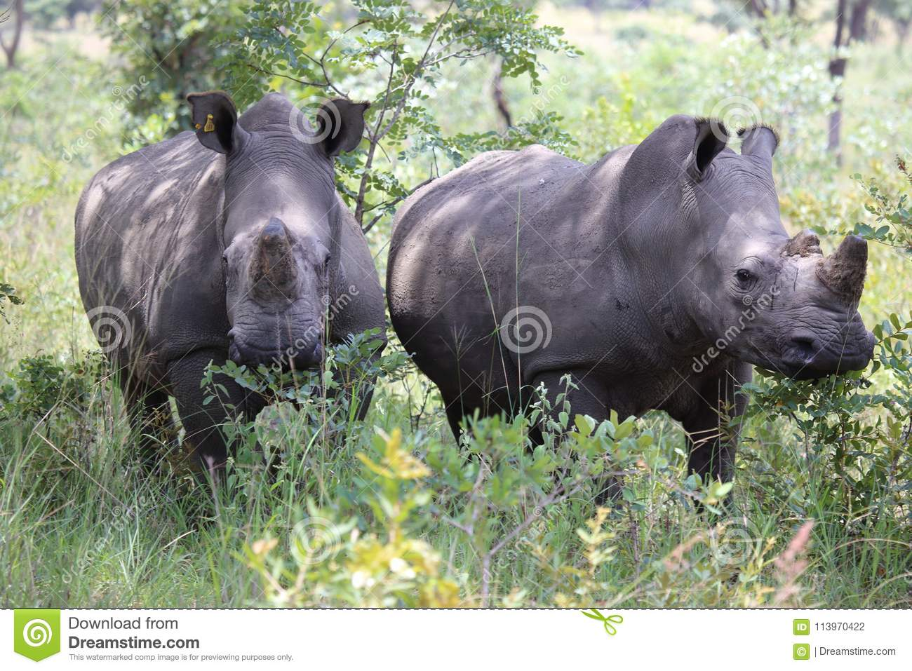 White Rhinos in Zimbabwe, Hwange National Park