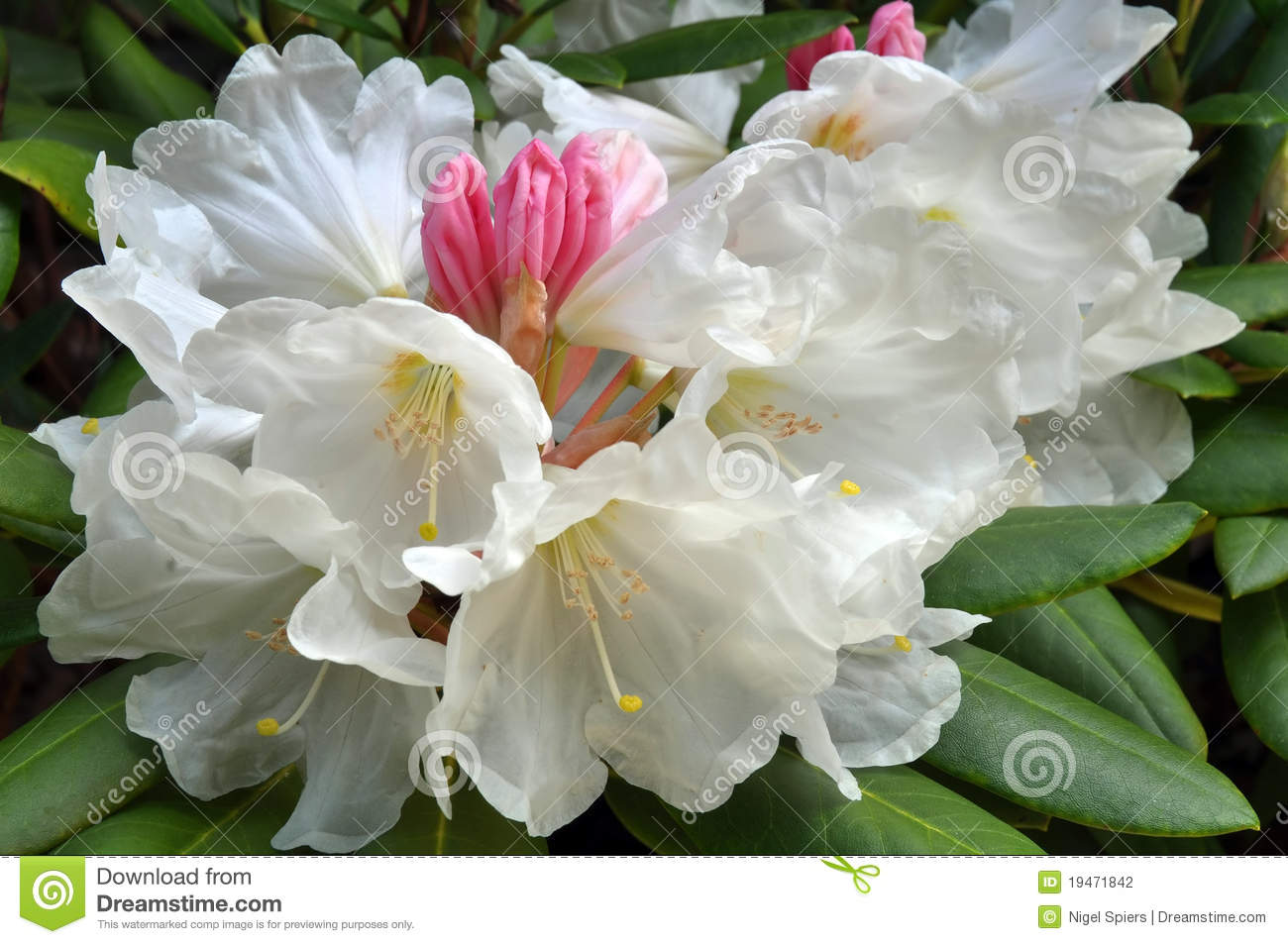 White Rhododendron Flowers In Spring Stock Photo Image Of
