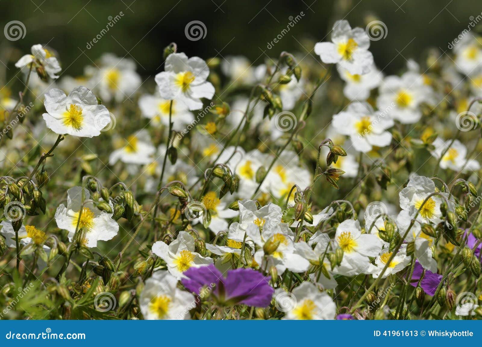 White Rock Rose Stock Image Image Of Helianthemum Nature 41961613