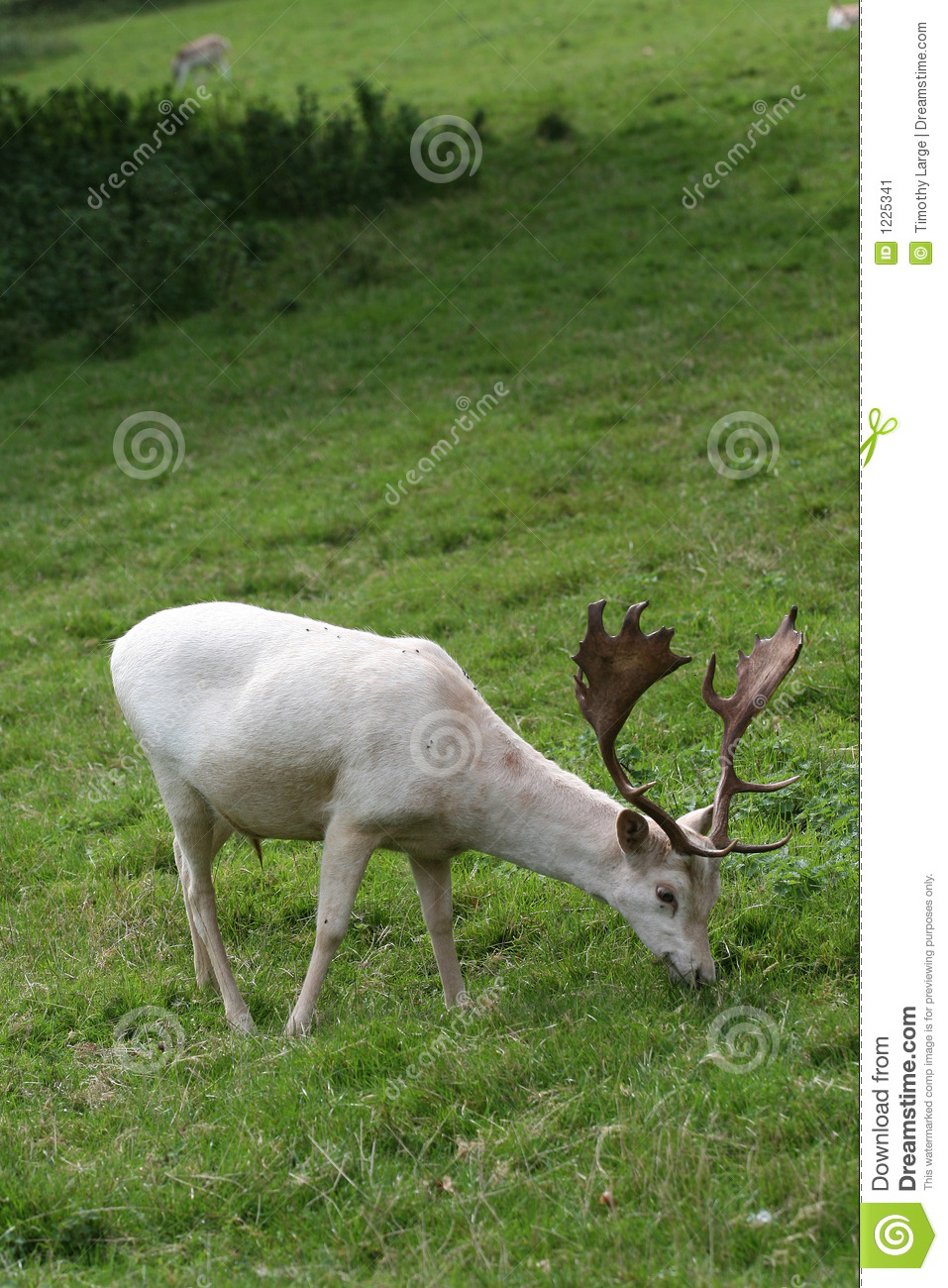 Roe are the most common of the UK's six species of wild deer, with their numbers estimated to be higher than ,, but a white one is extremely unusual. Richard Prior, an authority on roe deer.