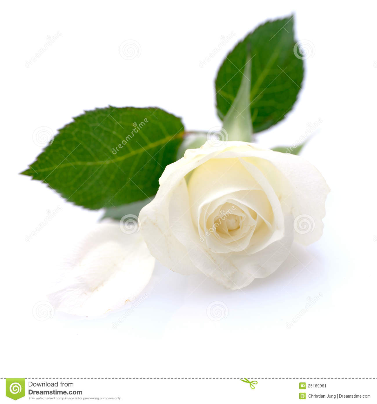 white rose stock image image 25169961 knife and fork clipart free knife and fork crossed clipart