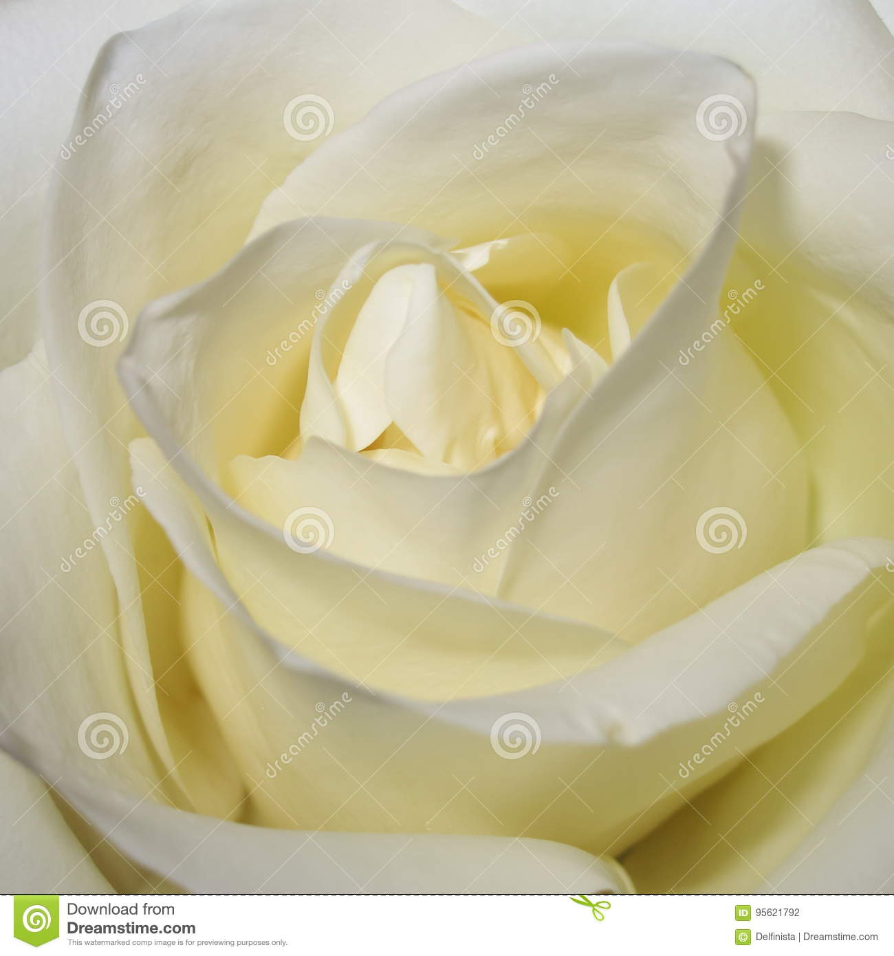 White Rose Background Flower Stock Photos Stock Photo Image Of