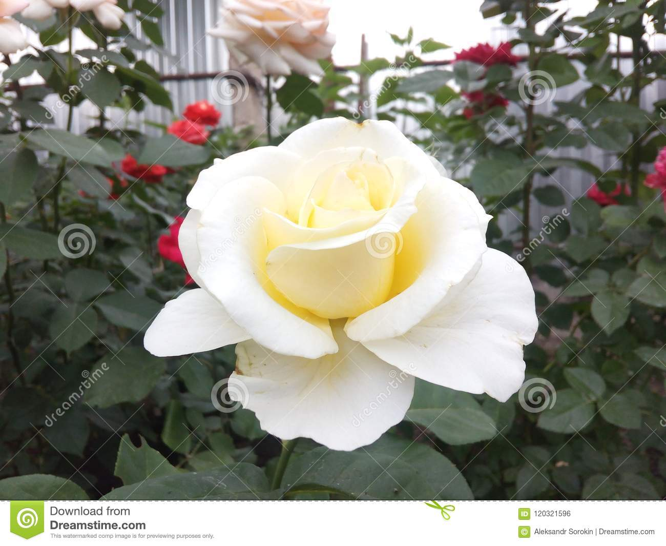 White Rose Background View Nature Beauty Flower Floral Sweet Close Petal Romance Valentine Roses Delicate Beautiful Stock Photo Image Of Roses White 120321596,Brown Color Combination For Bedroom