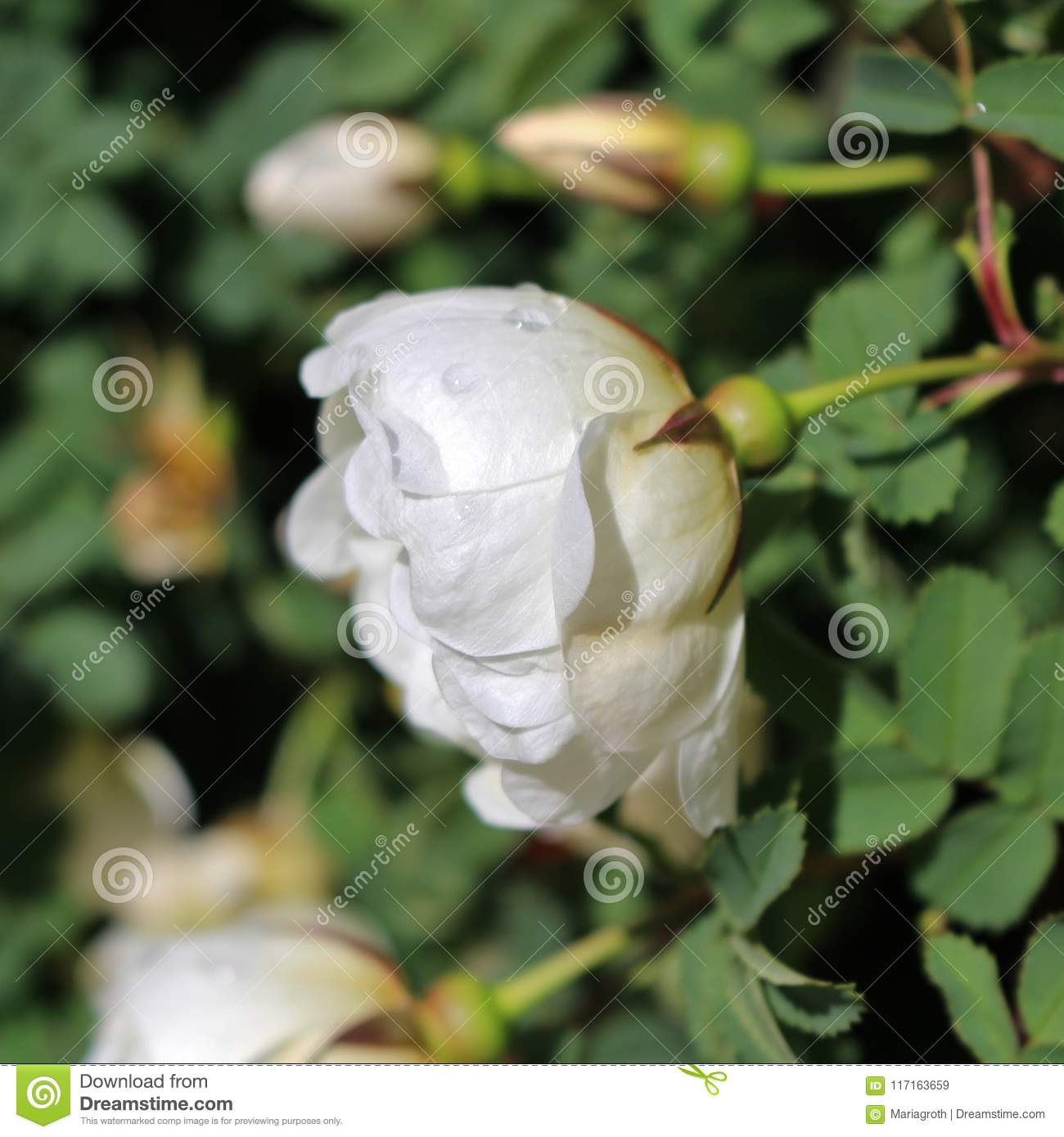The White Rose Of Finland Stock Image Image Of Romance 117163659