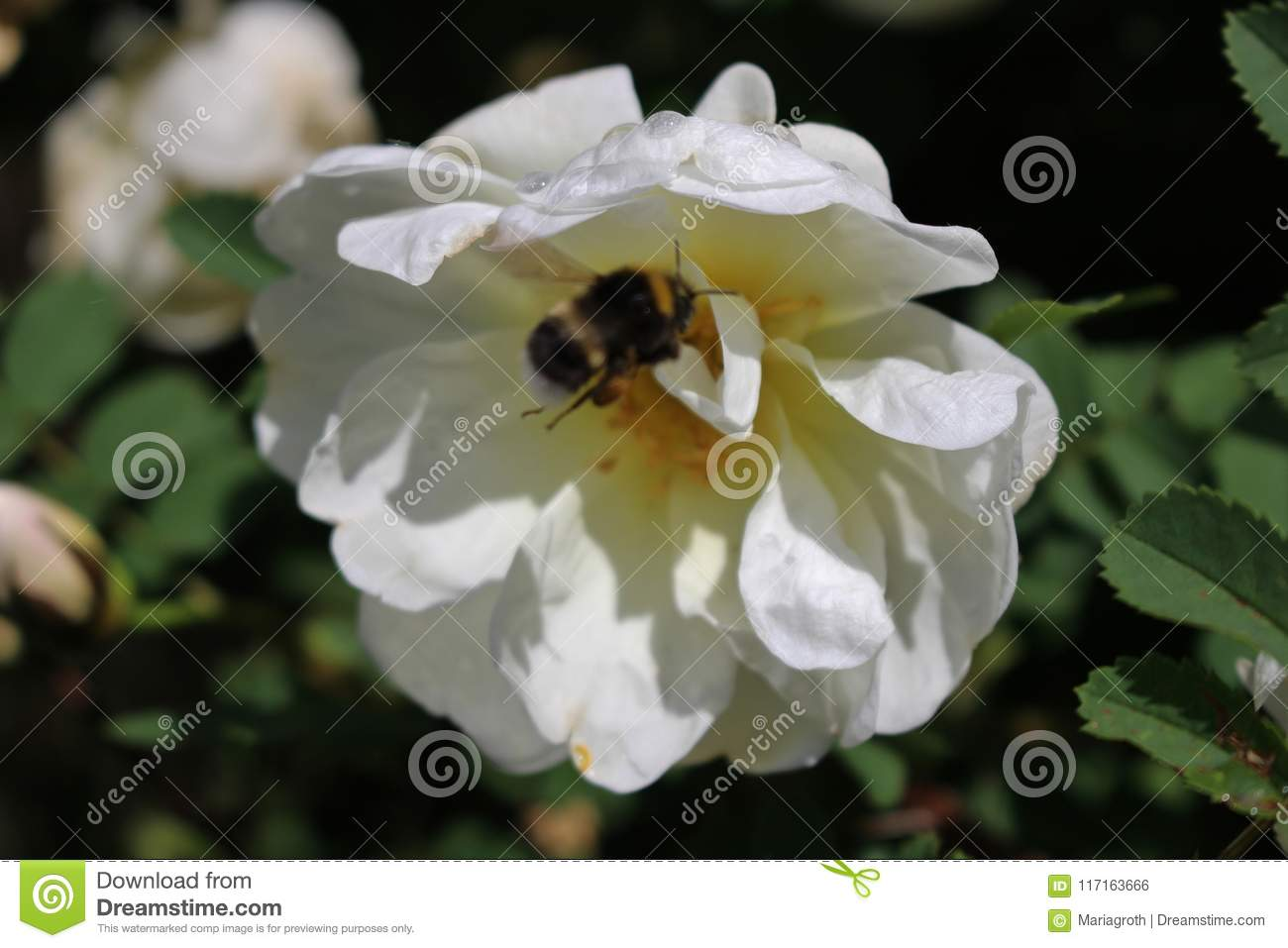 The White Rose Of Finland Stock Photo Image Of Finland 117163666