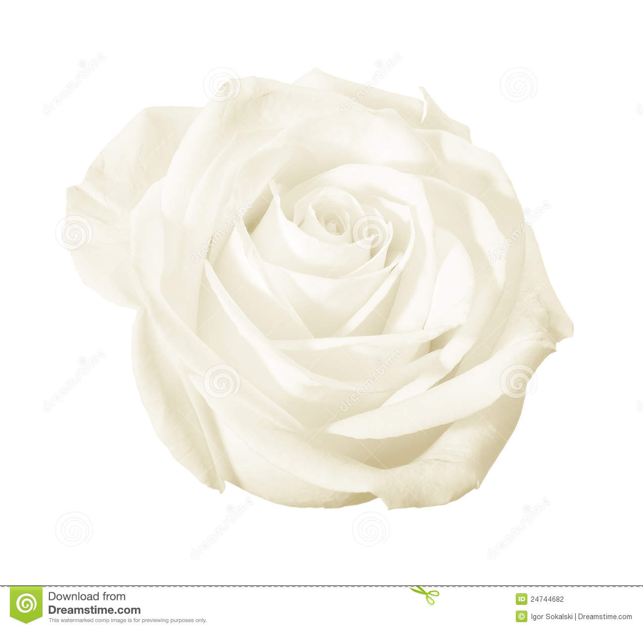 White Rose Flower Isolated Stock Photo Image Of Fresh 24744682
