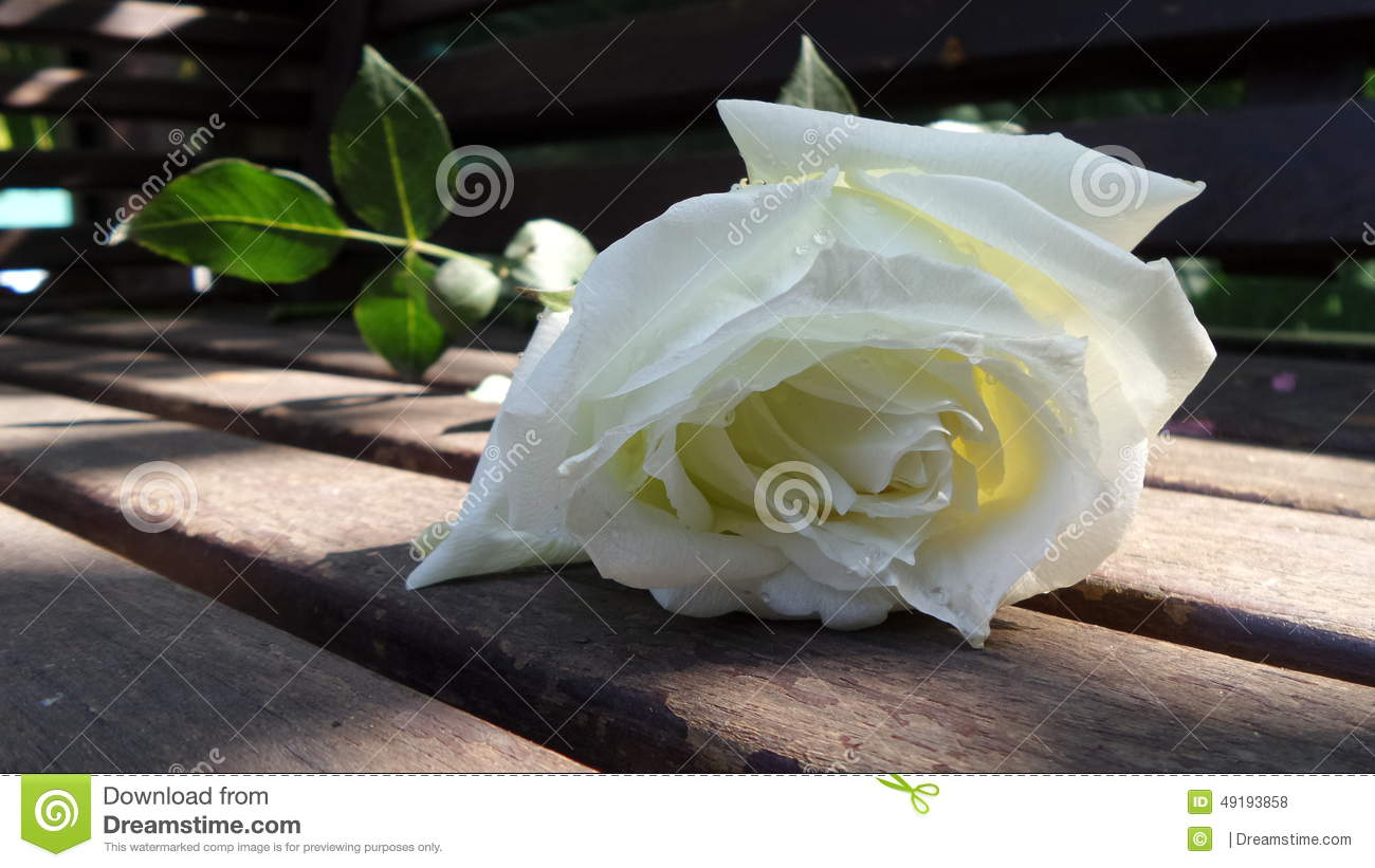 White rose from the garden stock photo image of white 49193858 white rose from the garden buycottarizona Choice Image
