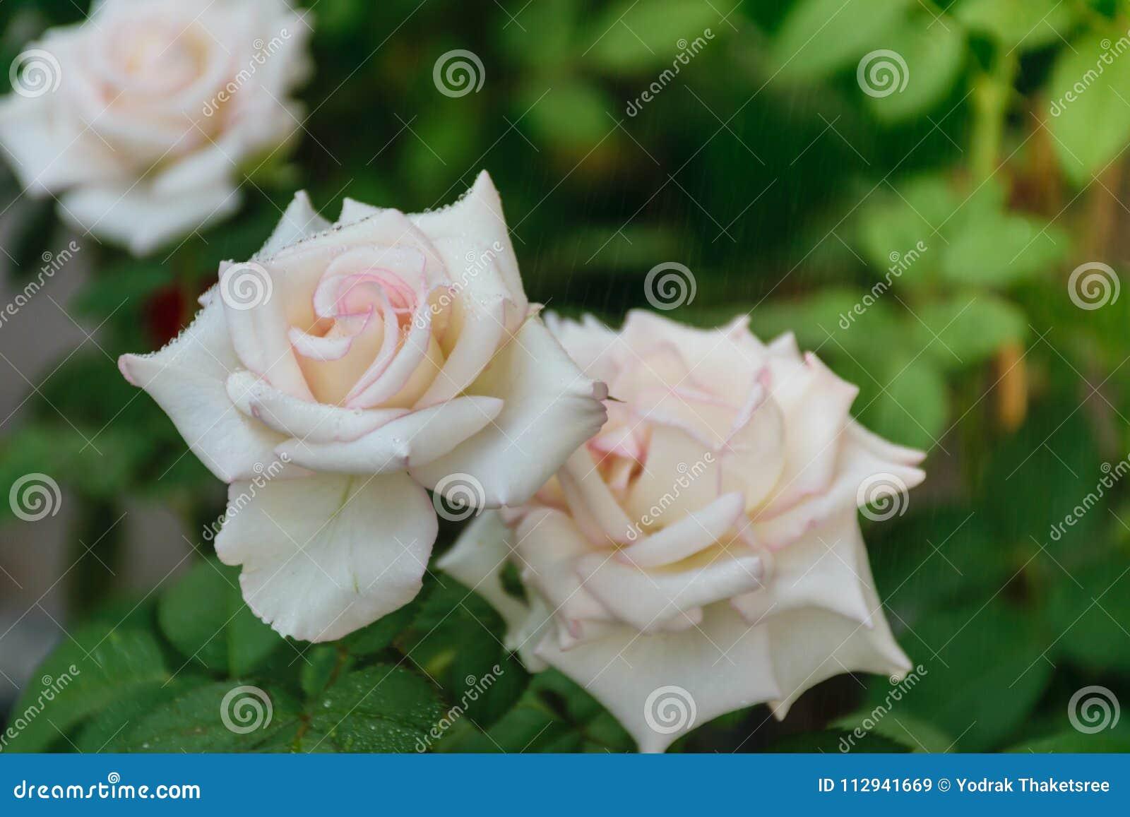 Blooming White Rose Petal Stock Image Image Of Detail 112941669