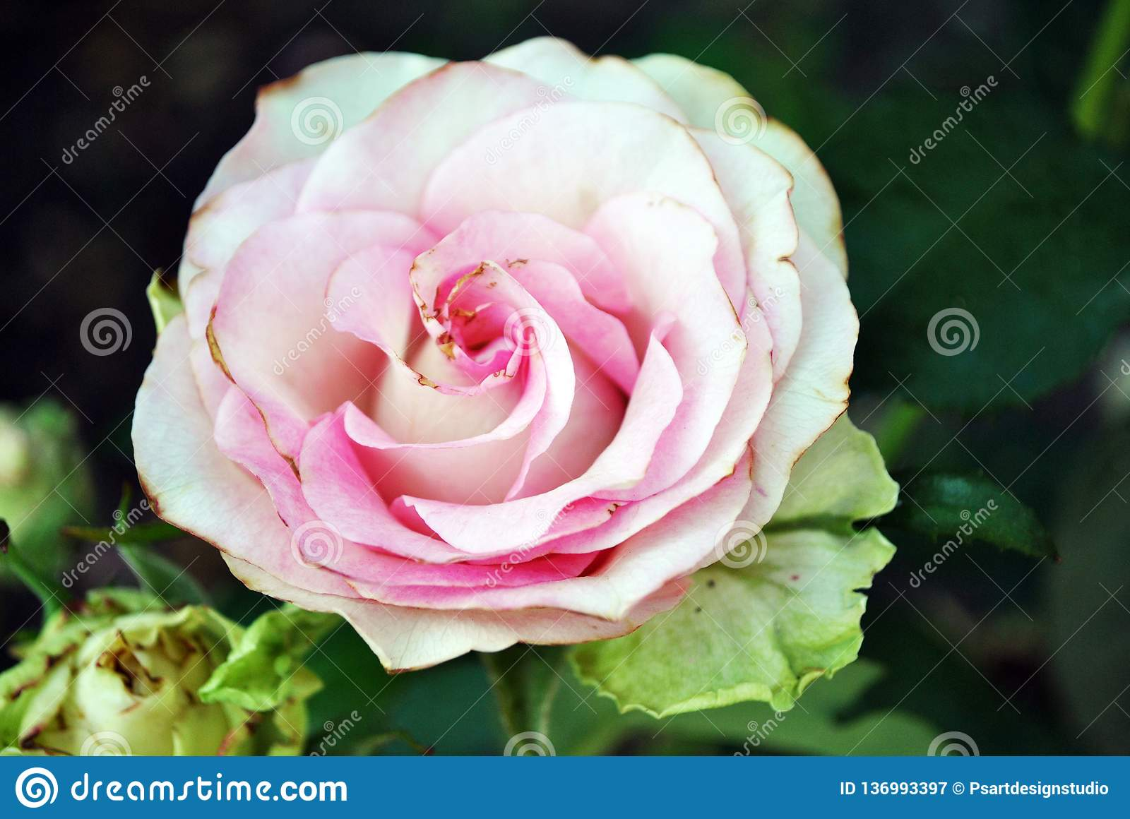 White rose with pink center blooming bud on green bush, petals close up detail, soft blurry bokeh background royalty free stock photography