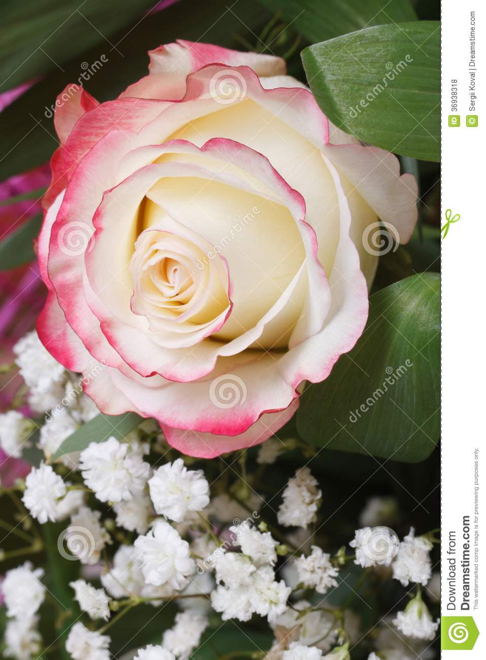 White Rose With Pink Edges With Babys Breath Flowers Stock Photo