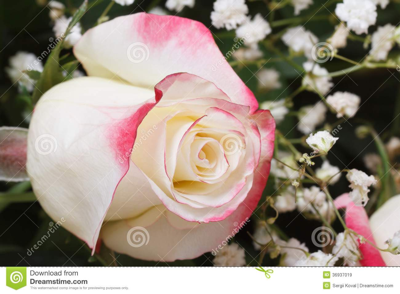 White rose with pink edges of the petals with gypsophila stock image white rose with pink edges of the petals with gypsophila mightylinksfo
