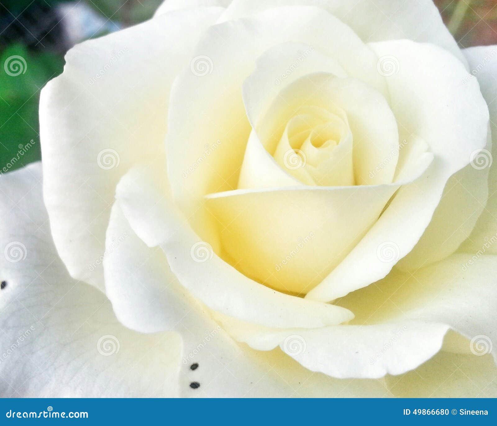 White Rose Stock Photo Image Of Love White Rose Symbolic 49866680