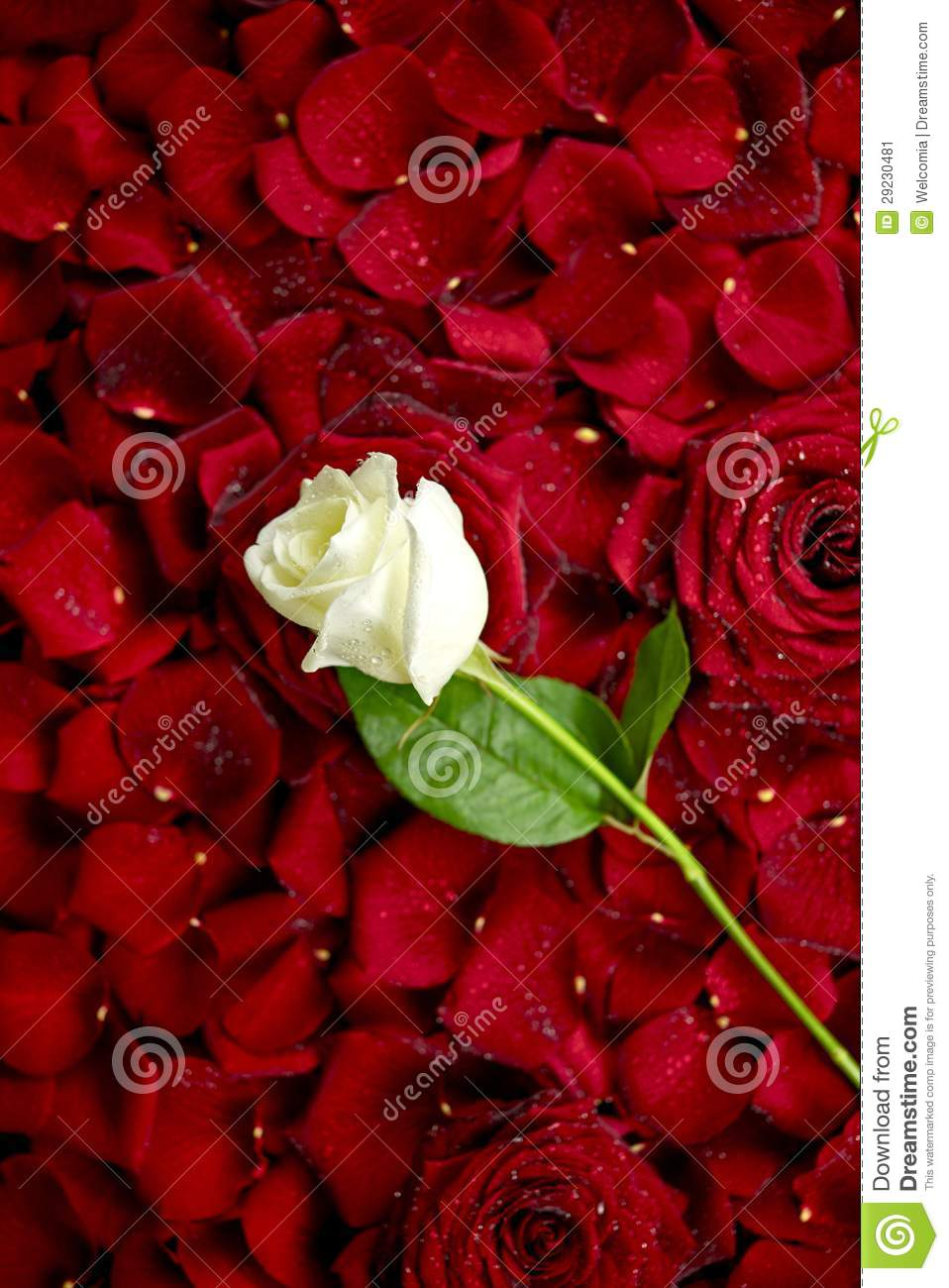 White Rose On Red Petals Stock Image Image Of Petal 29230481
