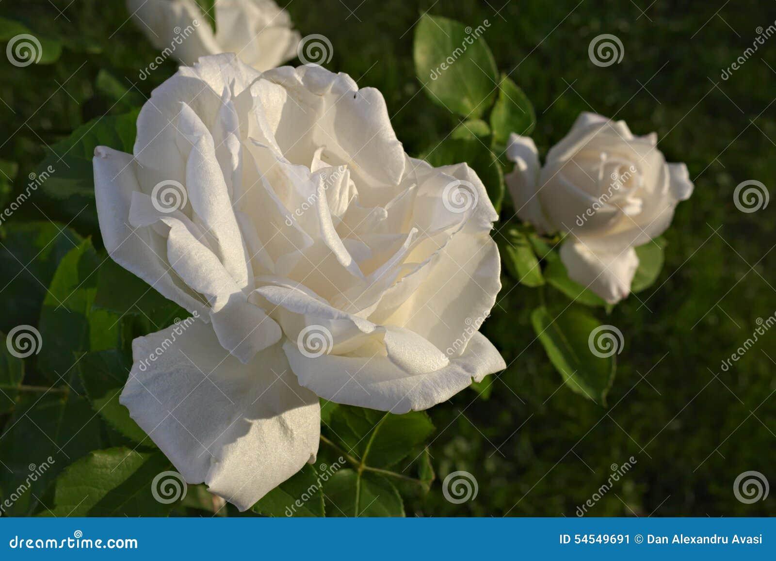 White Rose At Sunrise Stock Image Image Of Symbol Purity 54549691