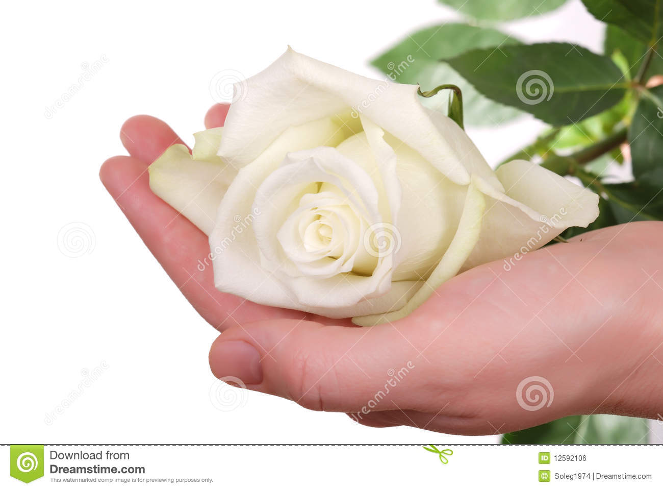 The White Rose In Woman Hand Royalty Free Stock Image