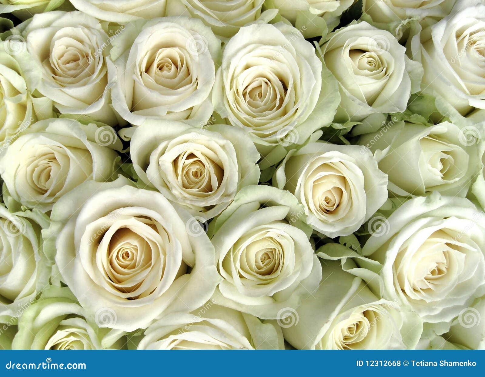 White Roses Stock Photo Image Of Rose Focus Background