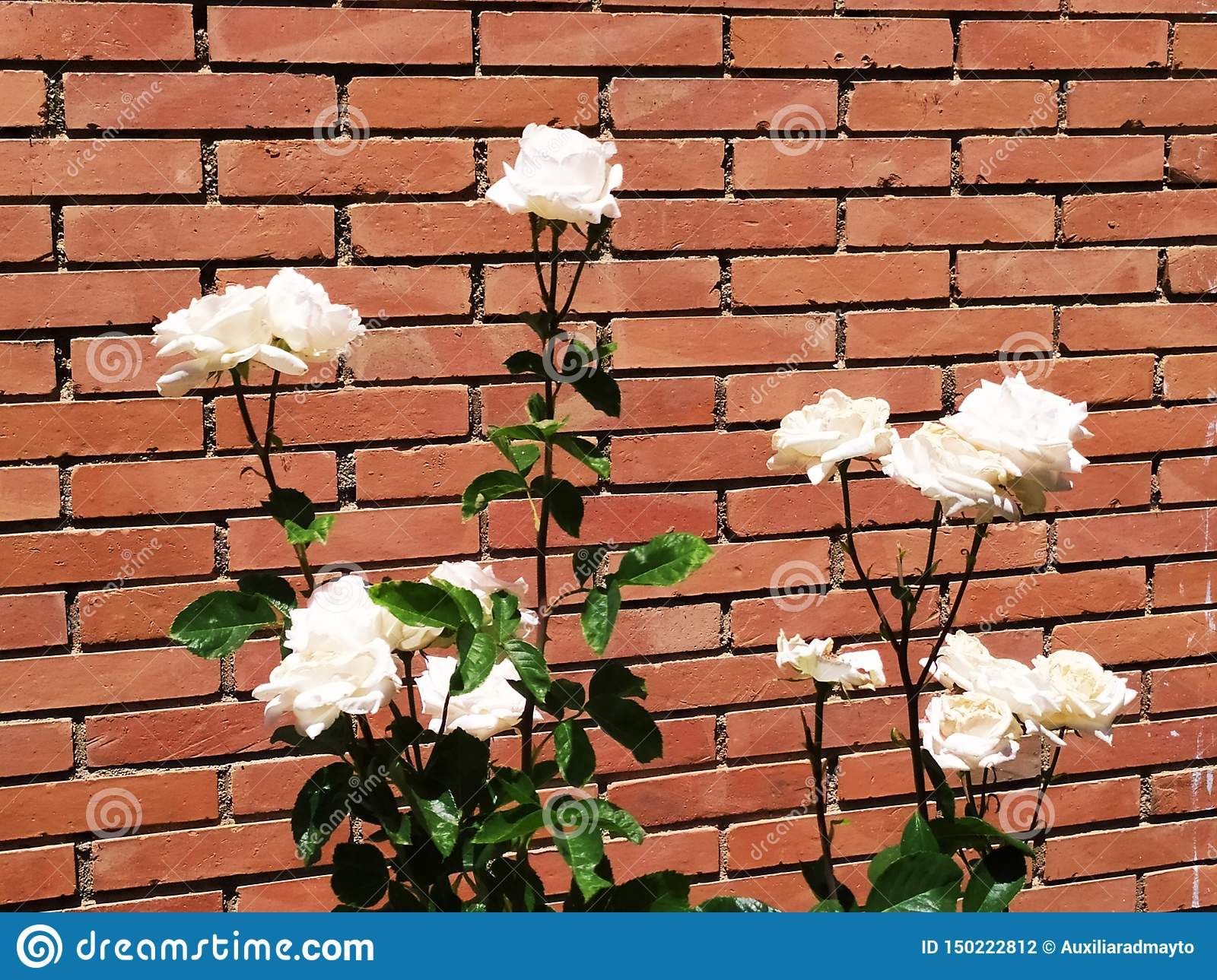White roses and brick wall