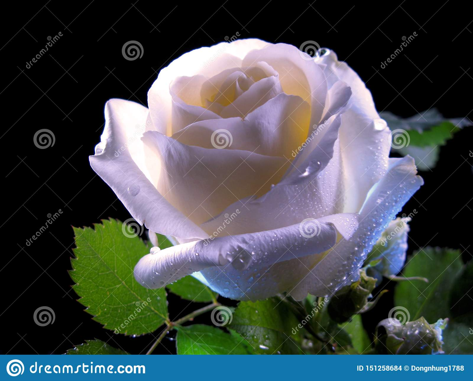 White Rose Bloom In The Night