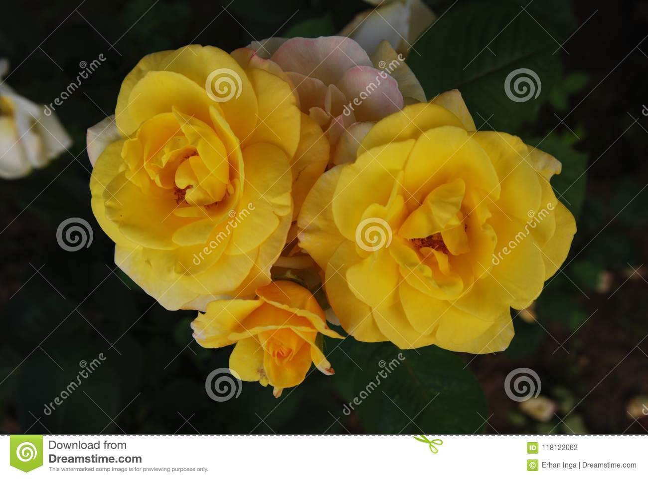 Yellow Roses Flowers Close up Bunch Garden Flowers Summer Time