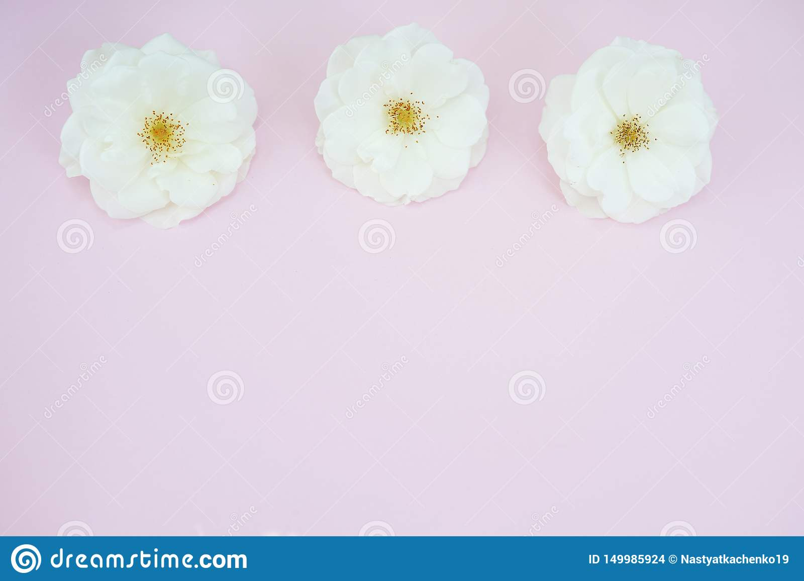 White roses on pastel pink background with copy space. Flat lay, top view