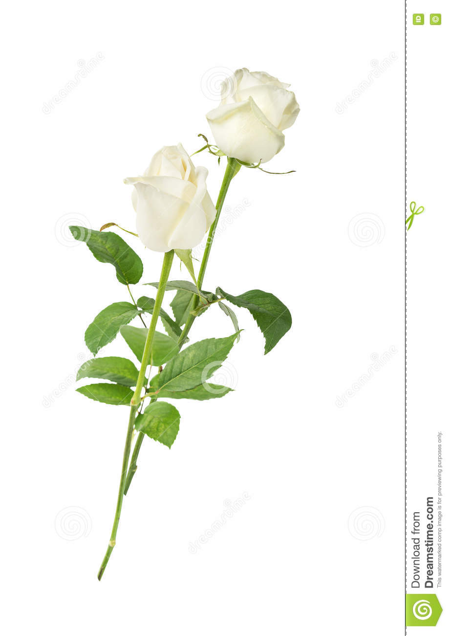 White Roses On A White Background Stock Photo Image Of Solitude