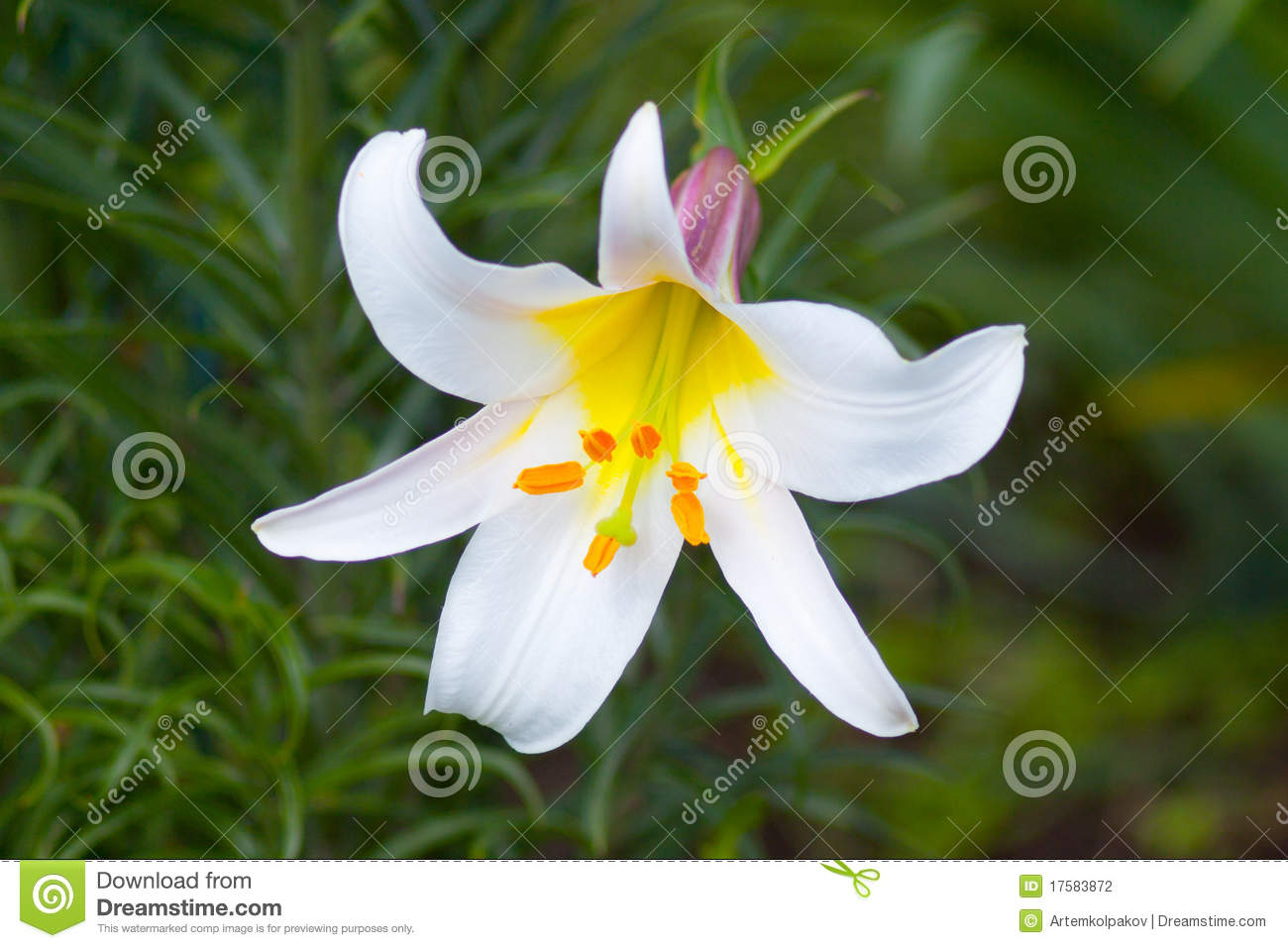 White Royal Lily Stock Photo Image Of Flowers Plants 17583872