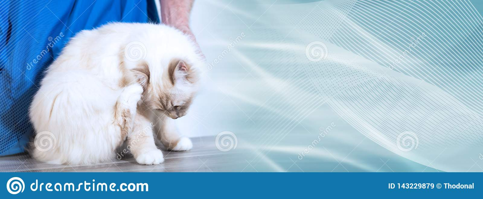 White sacred cat of burma at the vet scratching his head. panoramic banner