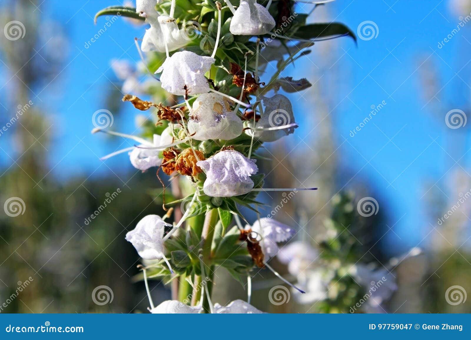 White Sage Flower Stock Image Image Of Canola Green 97759047