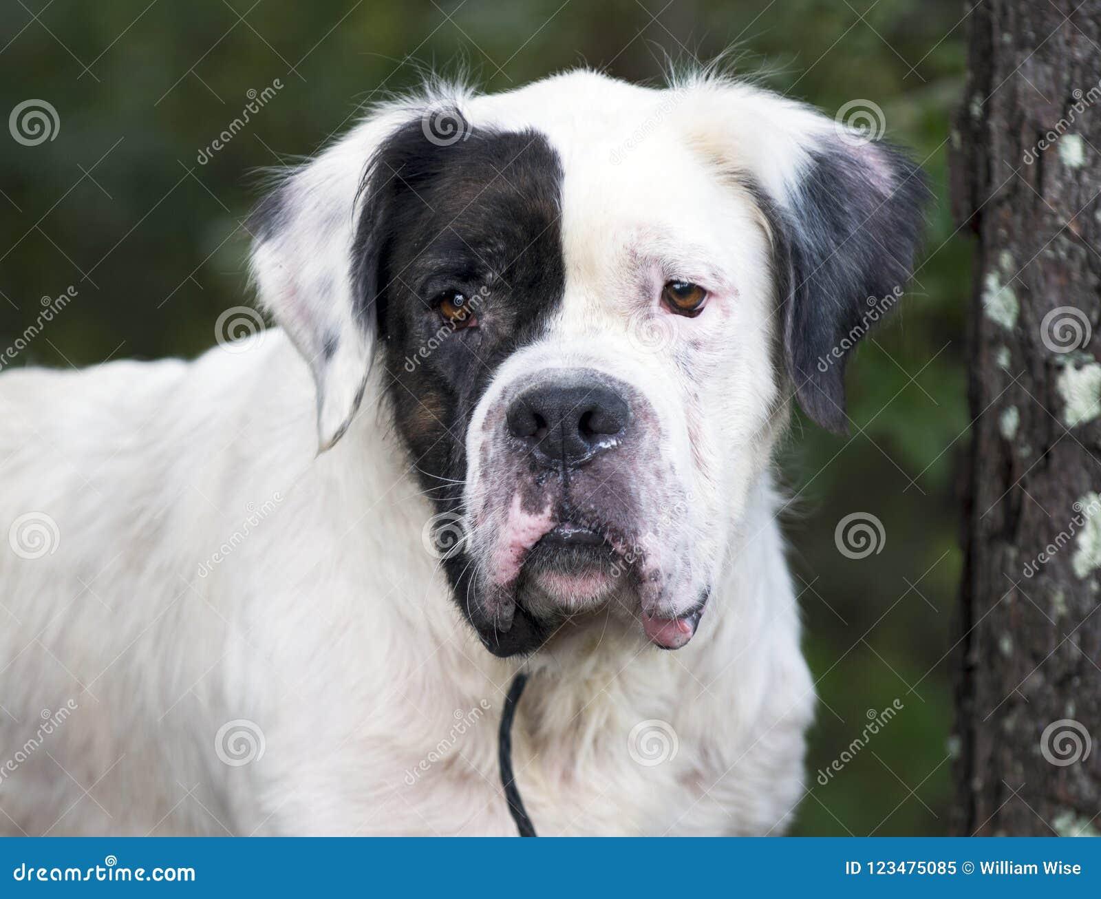 White Saint Bernard Mixed Breed Dog Stock Image - Image of