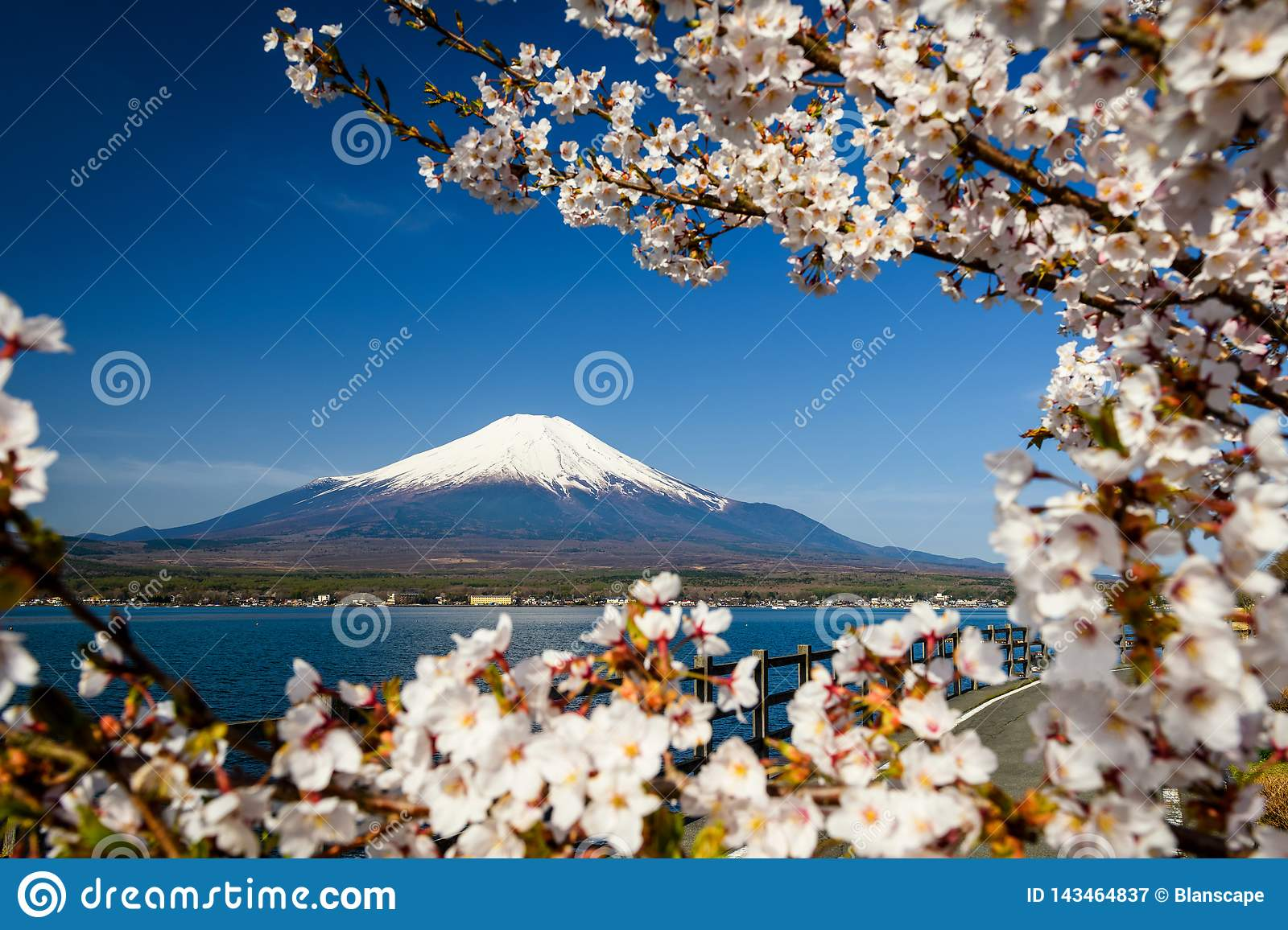 white sakura and mount Fuji at spring