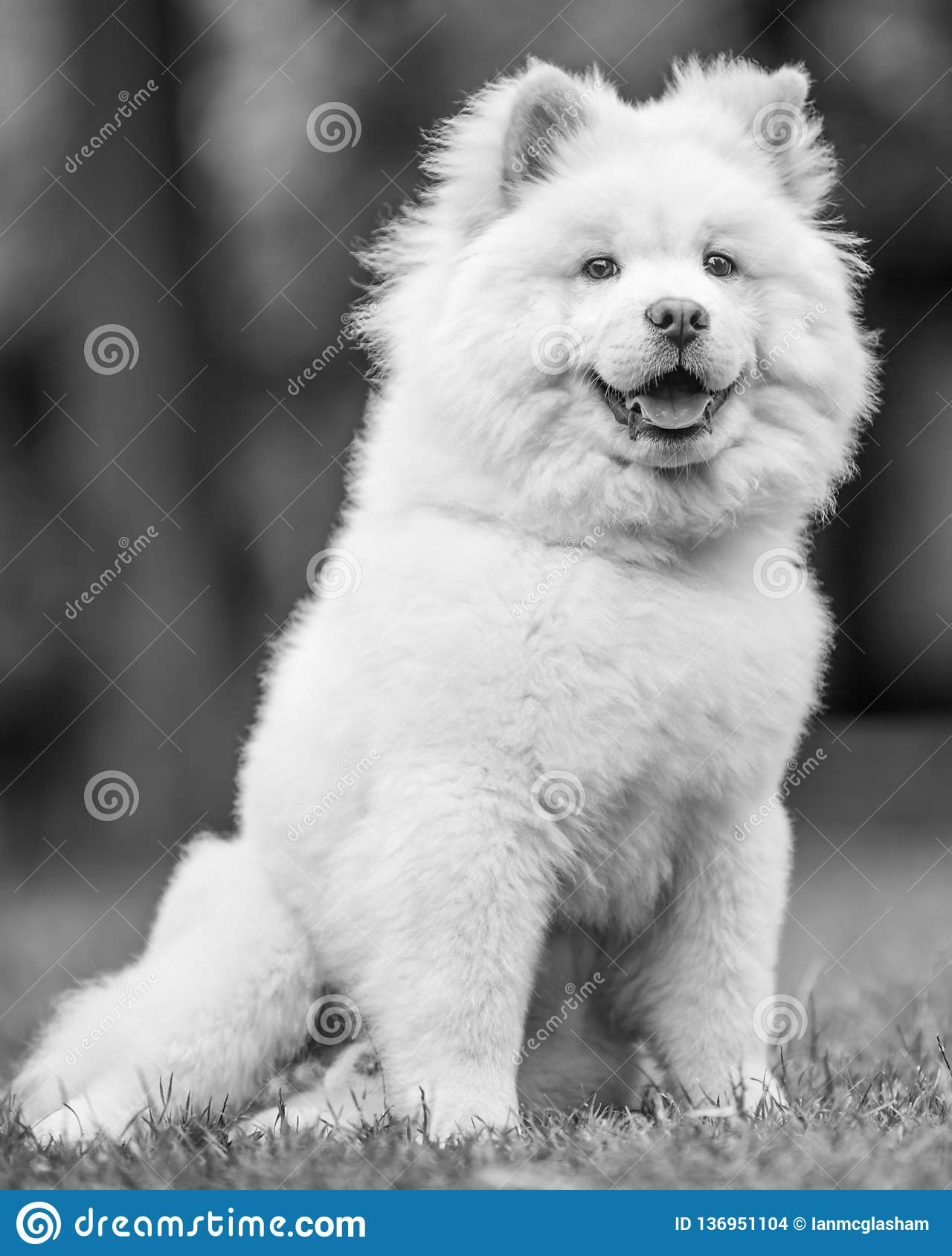 A White Samoyed Puppy Sitting In A Field Smiling Stock Photo Image Of Long Smiling 136951104