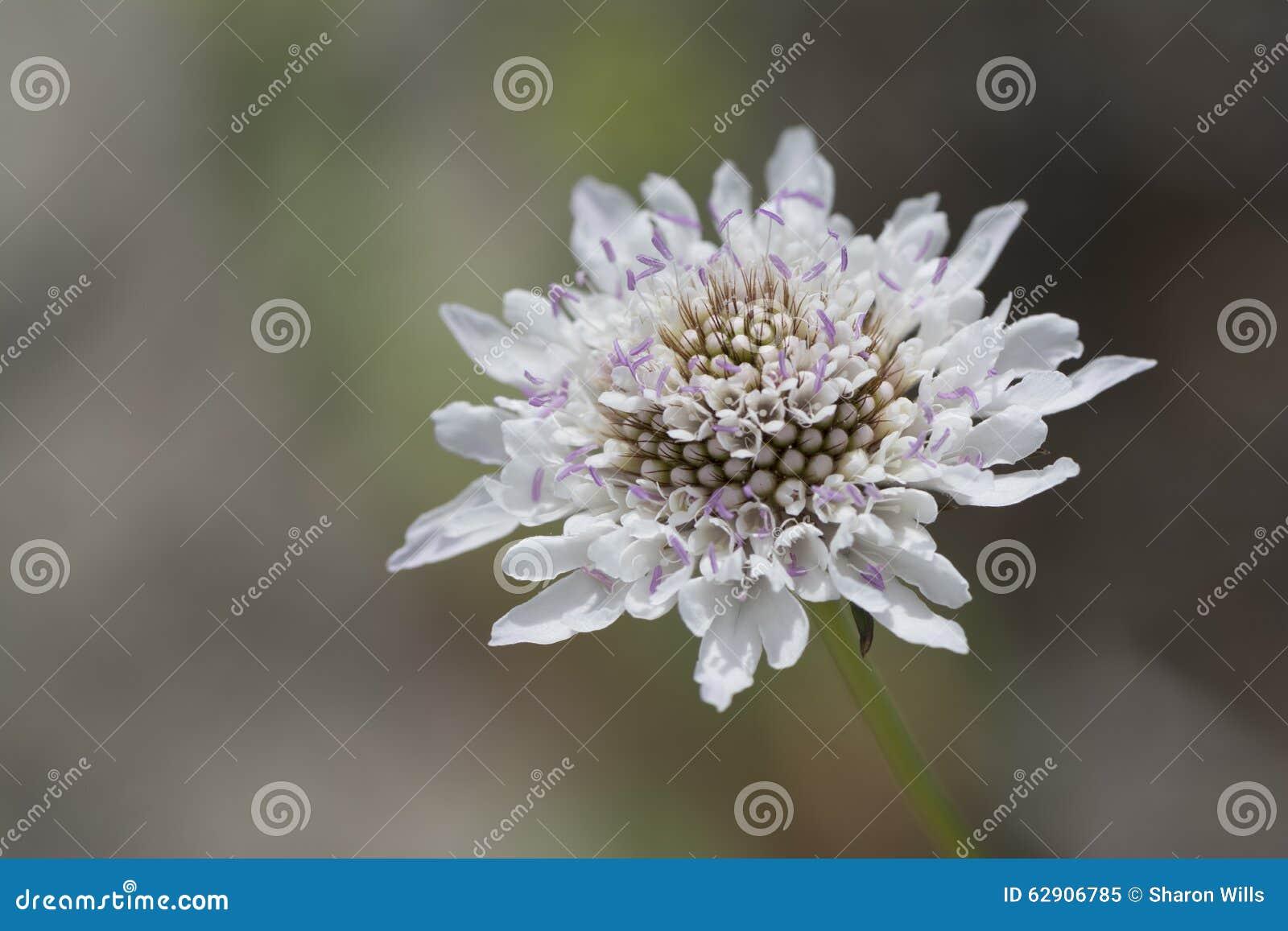 White Scabiosa Pincushion Flower Head Stock Image Image Of