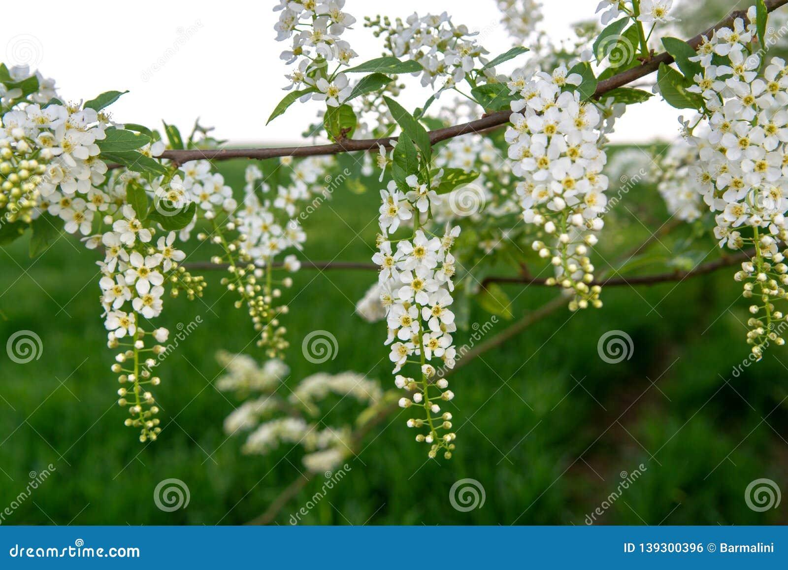 Albero Con Fiori Bianchi white scented blossom of bird-cherry tree stock photo