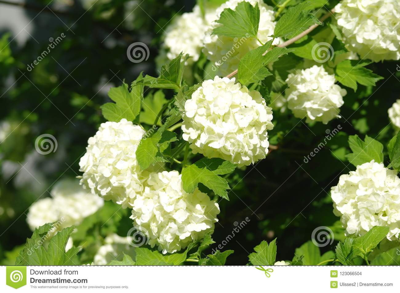 White Scented Flowers Against Background Stock Photo Image Of Balm
