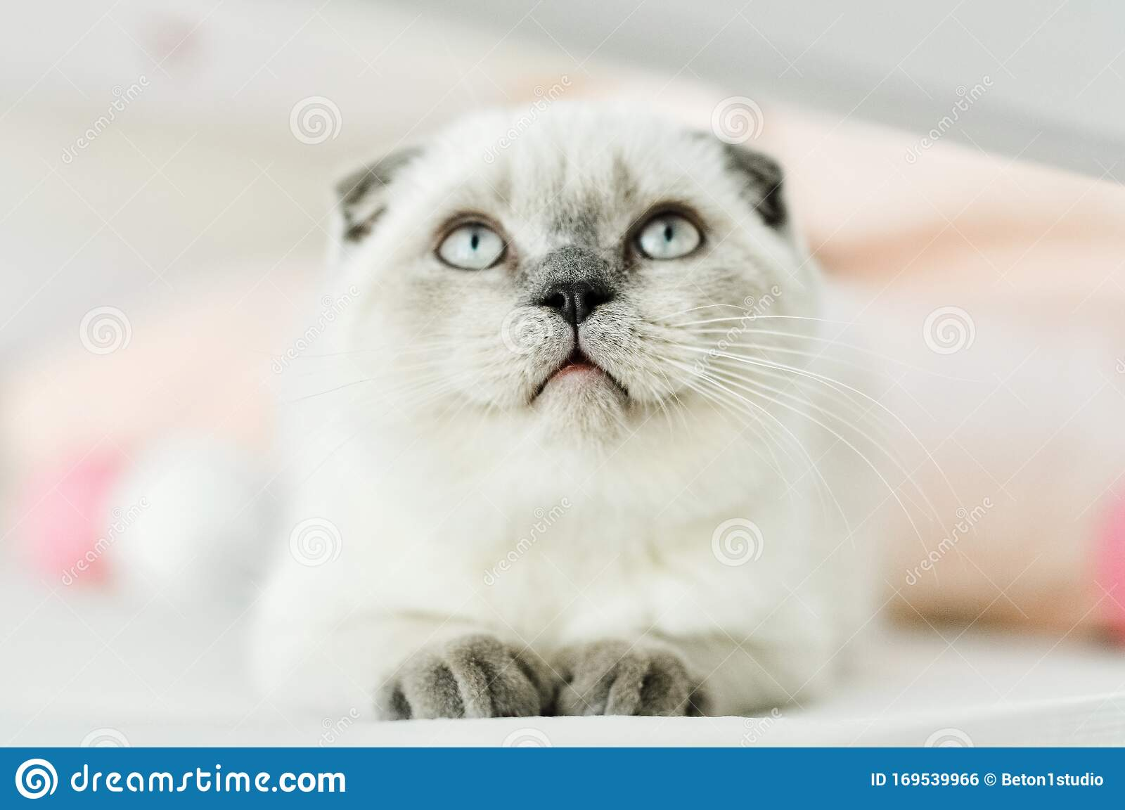 White Scottish Fold Domestic Cat Lying In Bed Beautiful White Kitten Portrait Of Scottish Kitten With Blue Eyes Cute White Cat Stock Photo Image Of Baby Playful 169539966