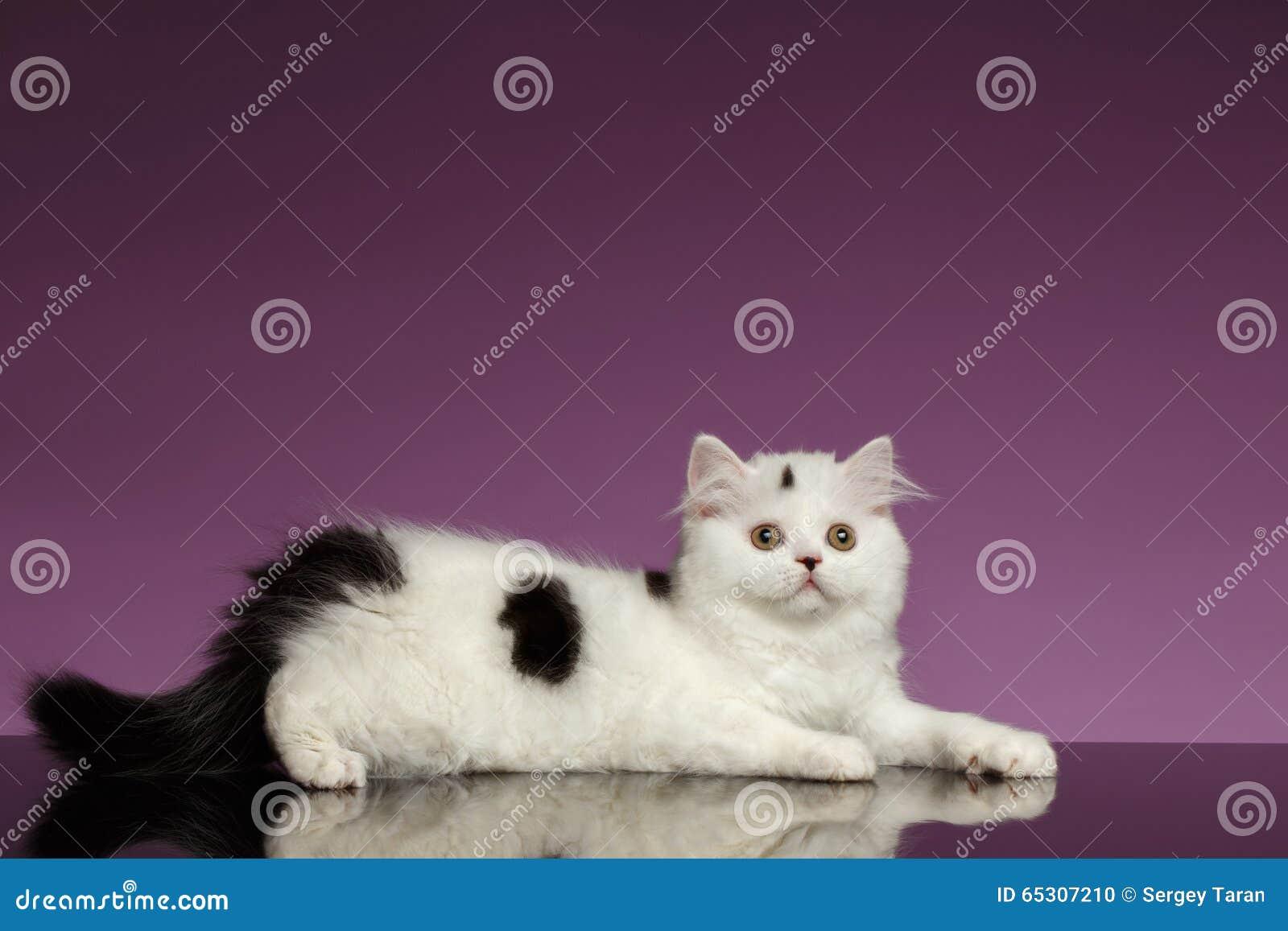 White Scottish straight Kitten Lies on Purple