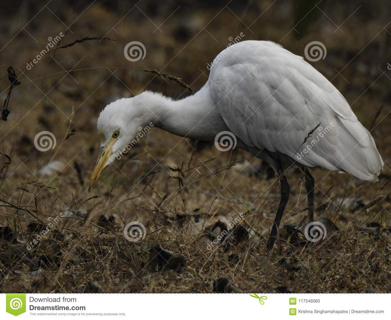 White Crane Bird Searching For Food Stock Photo - Image of