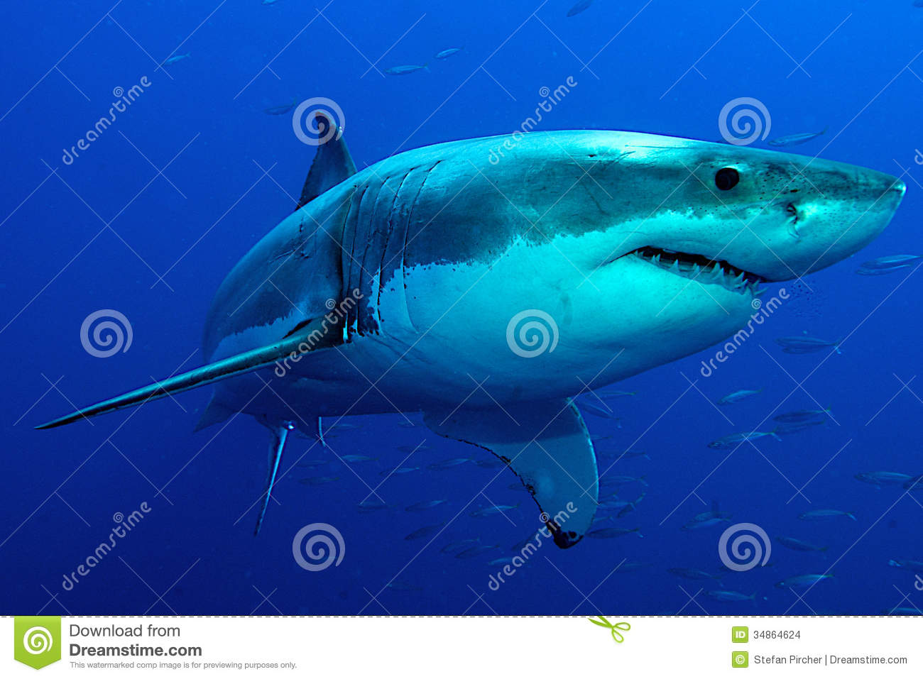 White Shark in blue water