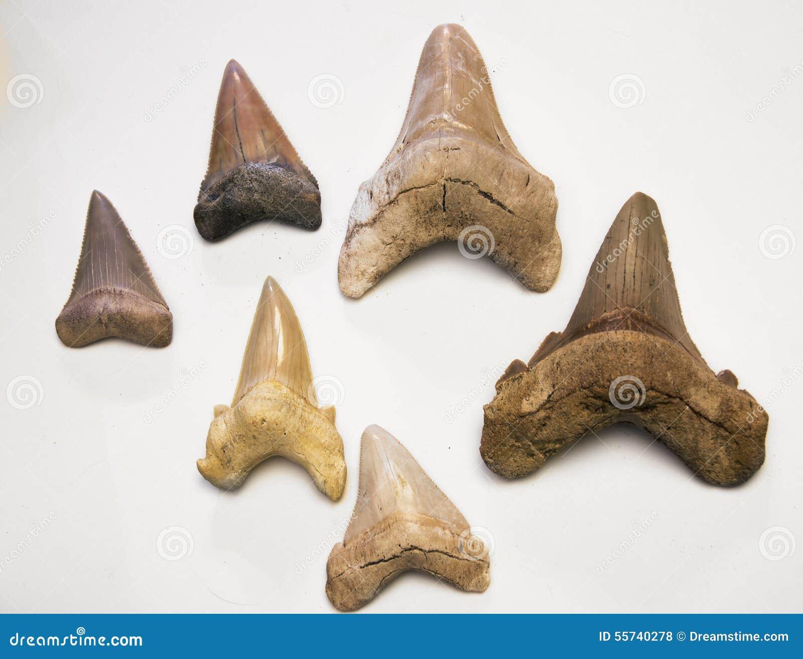 White Shark Teeth