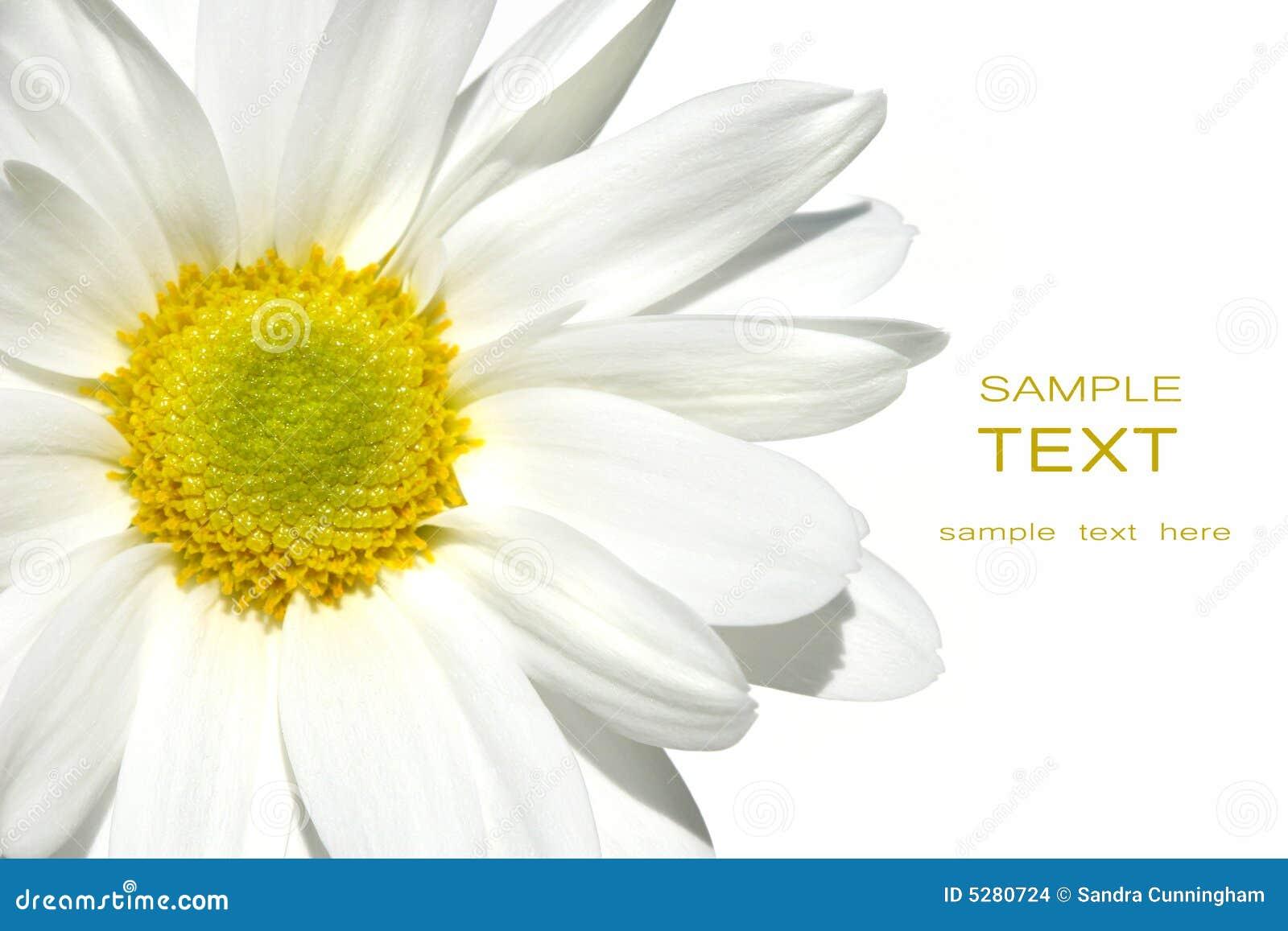 White shasta daisy on white