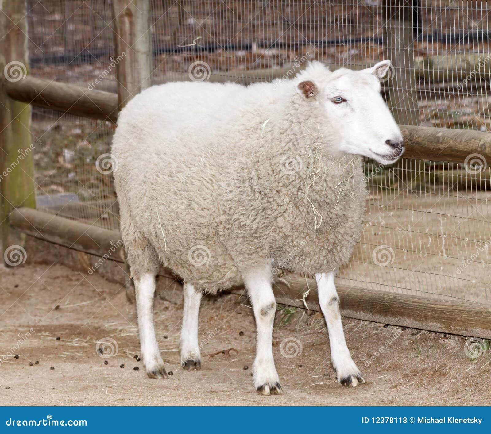 White sheep - photo#7