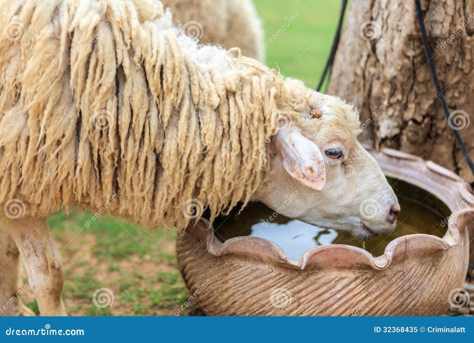 Drinking sheep