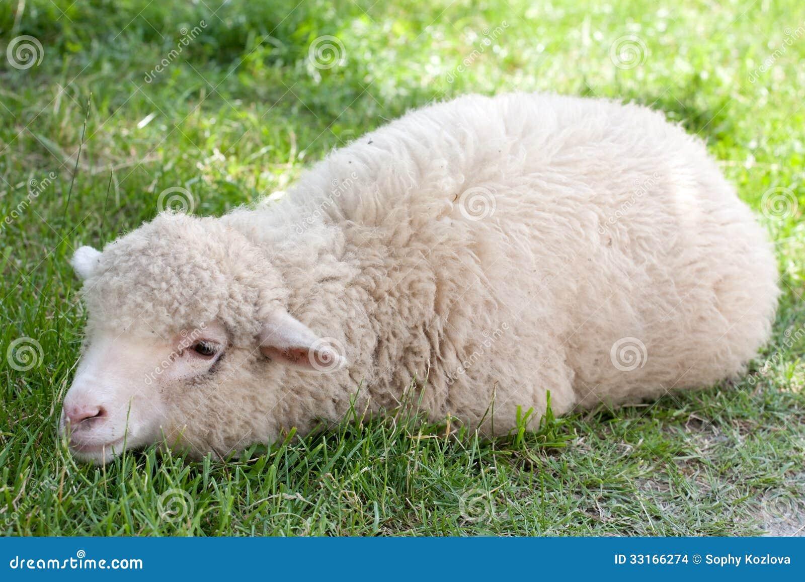 White sheep - photo#6