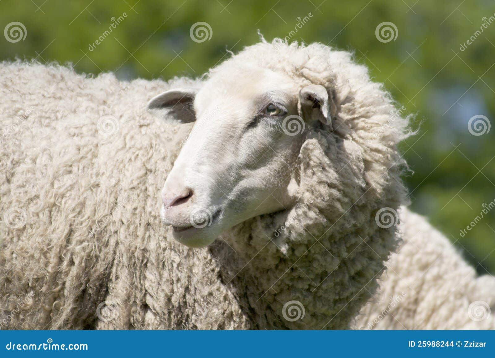 White sheep - photo#13